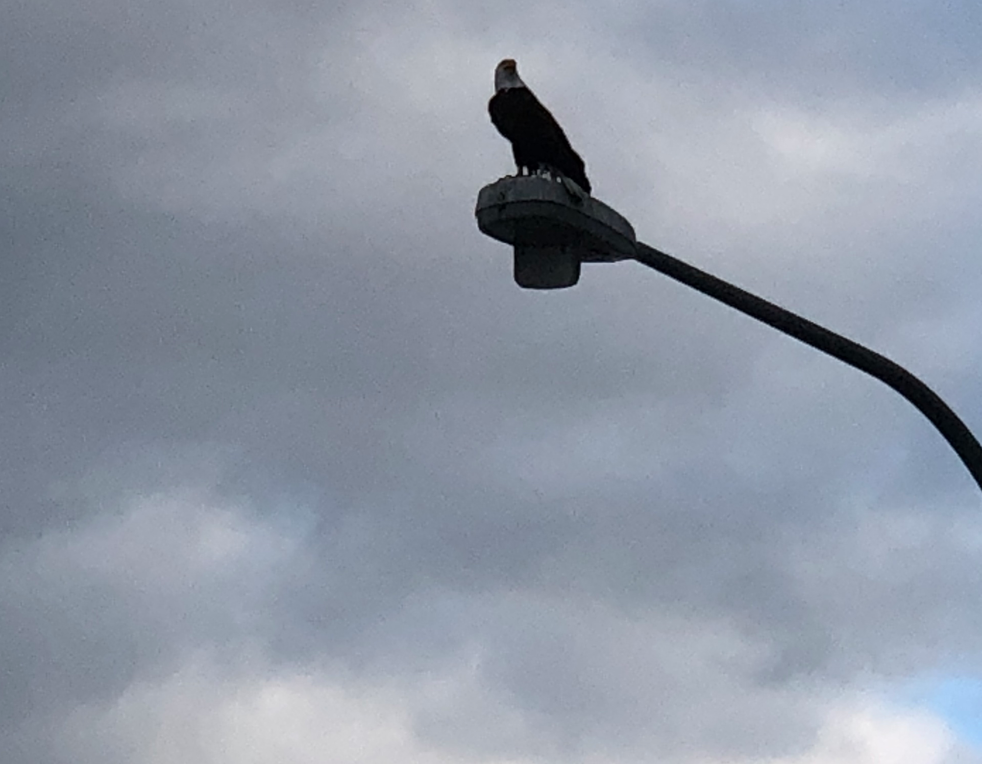 Hello, Bald Eagle!