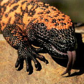 Primary gila monster hissing