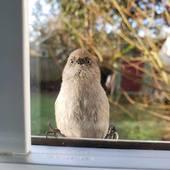 Primary bird